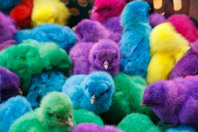 dyeing of the chicks on Easter